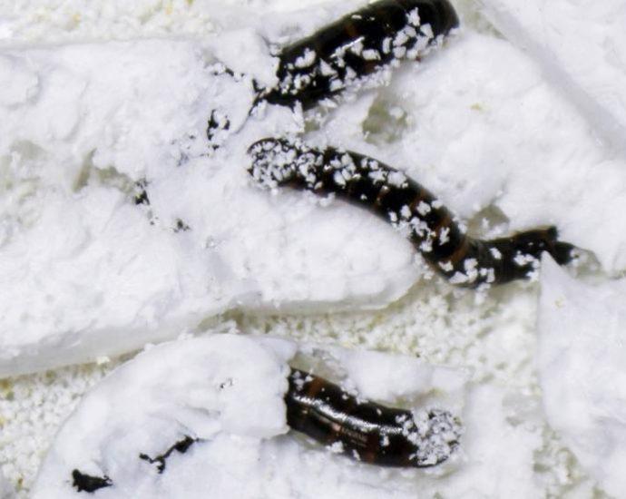 Batteri larve Scarabeo degradano plastica