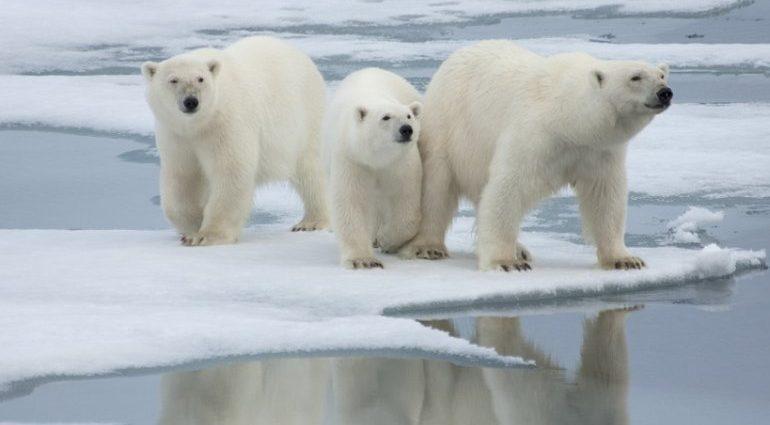 Orsi polari rischio estinzione 2100