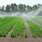 Riso e arsenico: nuova tecnica di coltivazione ne riduce l'accumulo
