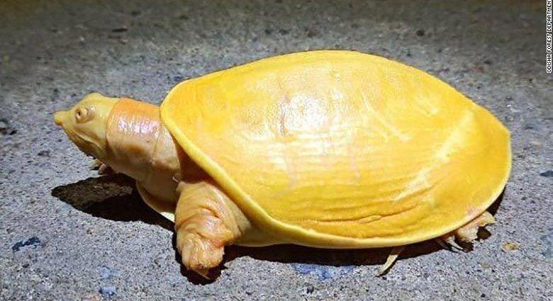 Tartaruga rara gialla albina