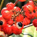 Diabete nuove scoperte: il Guaranà è antiglicemico