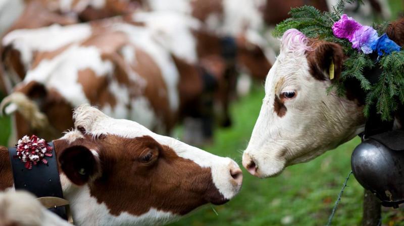 Mucche comportamento sociale