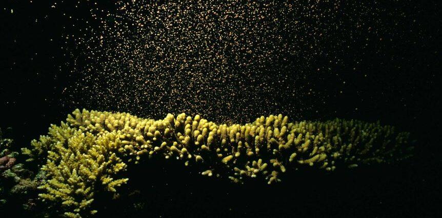 Barriera corallina riproduzione coralli
